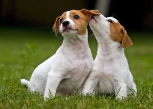 Cachorros-de-4-meses-Jack-Russell
